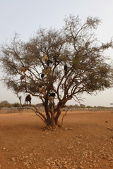 Herd of goats on a tree