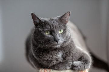 A cute gray cat lies in the sun's rays and looks seriously into the frame with a serious look.