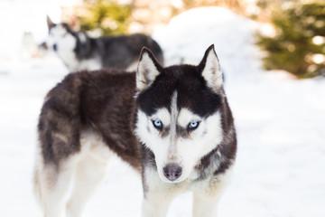 Blue eyed siberian husky winter portrait