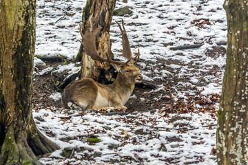 Lying fallow deer in the snowy forest