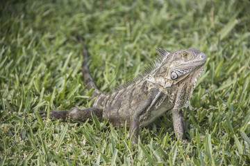Lizzard in the green gras of the caribbean