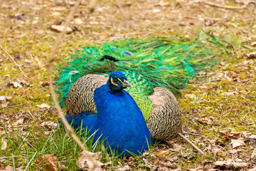 a big peacock with a blue chest lies on the ground