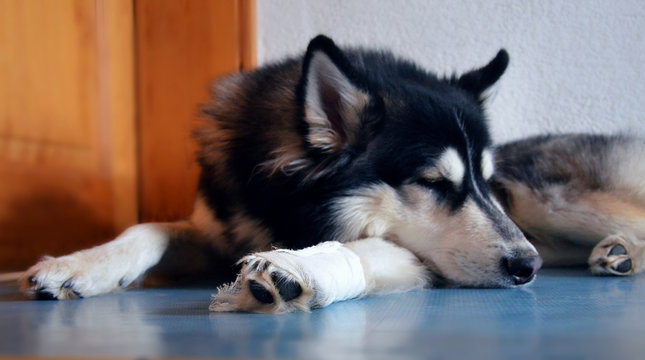 Tired Siberian Husky must stay inside with white bandage after injury on his leg
