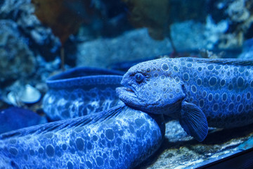 Blue wolf eel (Anarrhichthys ocellatus) behind the dusty glass in the oceanarium.