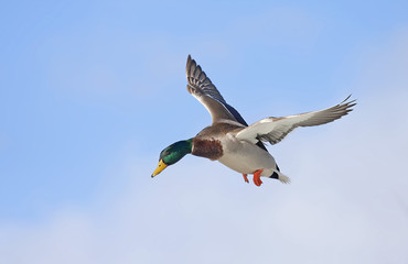 Male Mallard duck (Anas platyrhynchos) drake in flight isolated against a blue winter sky in winter in Canada