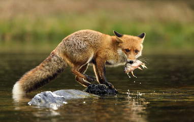 Red fox at the small pond Wall mural