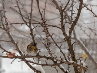 Fieldfare sitting on a tree branch in snowy weather