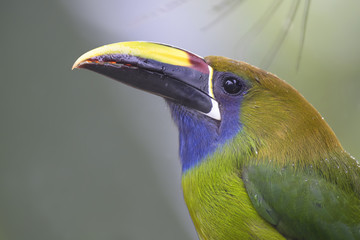 Emerald Toucanet - Aulacorhynchus prasinus, beautiful colorful toucan from Costa Rica forest.