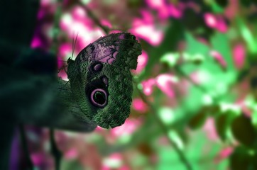 Owl Butterfly Close-up Pink & Green