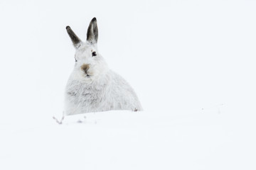 Mountain Hare (Lepus Timidus) sitting in deep snow