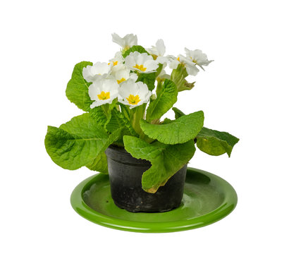 White flower in pot on a green plate, white background isolated