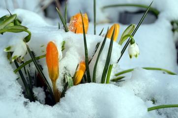 Schnee, Schneeglöckchen, Krokusse