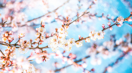 White apricot flowers. Beautiful flowering apricot tree. Background with blooming peach flowers in spring day, sun beams backlight, blue sky, bokeh.