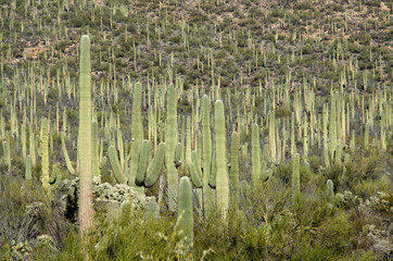 Saguaro Forest in Saguaro National Monument
