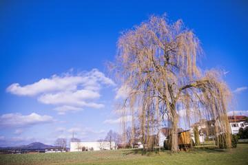 Babylon willow in spring in Germany