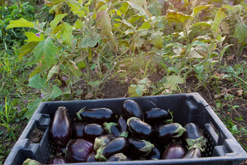 Charming farm-girl Fresh eggplant  just ripped from the bush .The concept of environmentally friendly rural settlements and organic products.