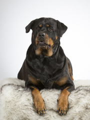 Rottweiler dog portrait. Image taken in a studio with white background. Guarding dog, head portrait.