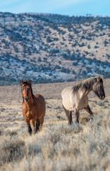 Pair of Wild Horse Stallions in the Utah Desert