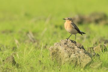 northern wheatear (Oenanthe oenanthe) bird resting on grassland