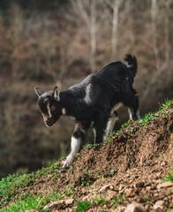 Goats III