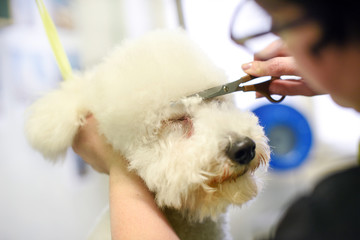 Dog haircut in close up view