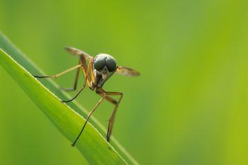 Front view macro close-up of a yellow Marsh Snipefly, Rhagio tringarius,