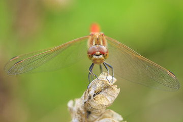 Closeup of a red male Vagrant darter Sympetrum vulgatum