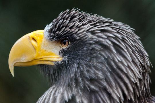 a portrait of a steller's sea eagle