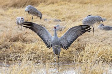 Migrating Greater Sandhill Cranes in Monte Vista, Colorado