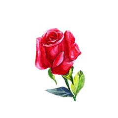 Red rose and Bud in watercolor isolated on white background.