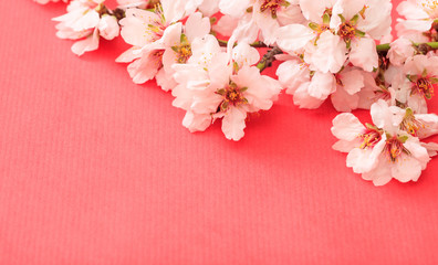 Spring blooming. Almond blossoms on pink background, banner, copy space