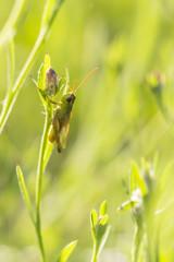 Meadow Grasshopper - Chorthippus parallelus