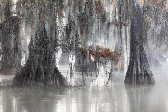 Bald cypresses (Taxodium distichum); Lake Martin, Breaux Bridge, Atchafalaya Basin, Southern United States, USA; North America
