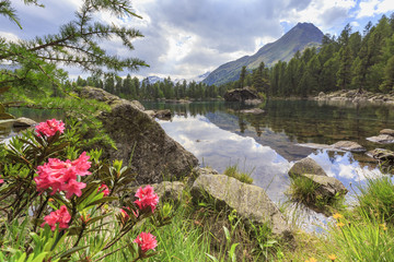 Blooming of rhododendrons at Saoseo Lake, Val di Campo, Val Poschiavo, Graübunden, Switzerland.