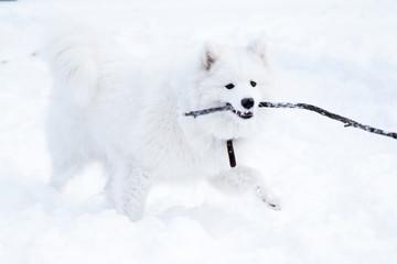 A beautiful Samoyed dog