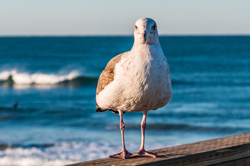 A California seagull (Larus californicus) stands on the Oceanside, California fishing pier in San Diego County, with crashing waves in the background.