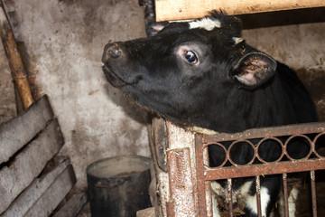 Calf in a dark barn