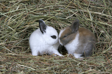 Domestic Rabbits,two babies together in hay