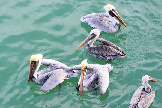Close-up of pelicans floating in bay, with greenish water