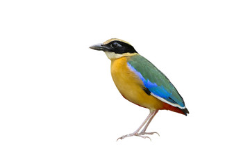 Blue-winged Pitta isolated on white background