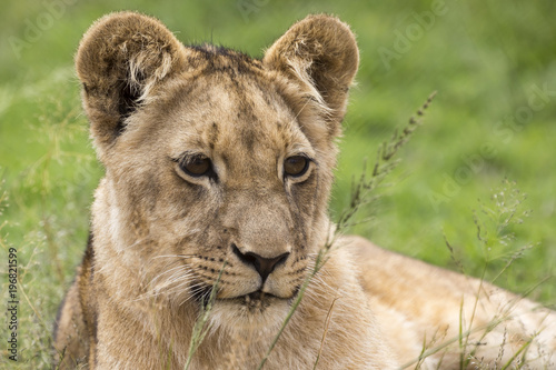 Lions of the grasslands of Africa.