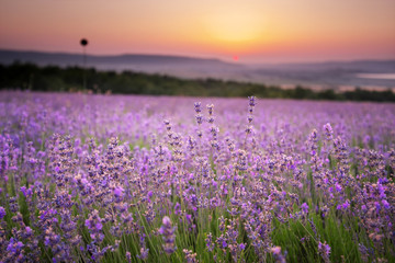 Wall Mural - Meadow of lavender.