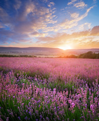 Wall Mural - Meadow of lavender and sunshine. Landscape and agriculture nature composition.
