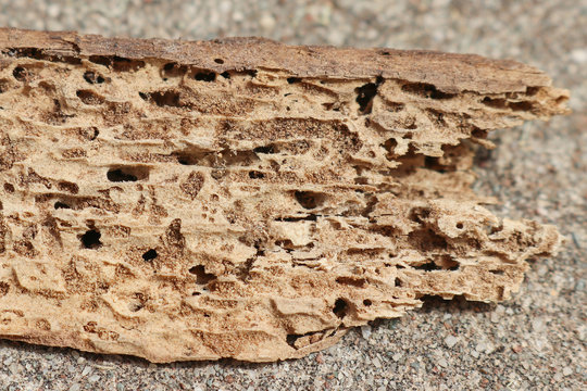 termite damaged timber showing holes and tunnels made by the wood chewing insects