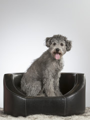 Pumi dog portrait. Image taken in a studio.
