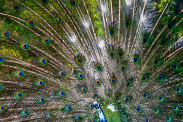 Peacock showing off his bright open tail