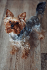 Yorkshire terrier stands on the floor