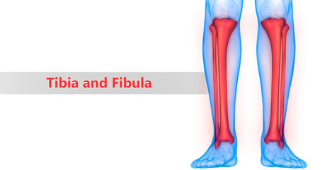 Human Skeleton System Tibia and Fibula Bones Anatomy