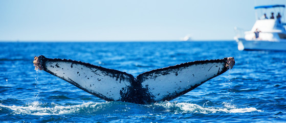 Tail of the humpback whale. Mexico. Sea of Cortez. California Peninsula . An excellent illustration.