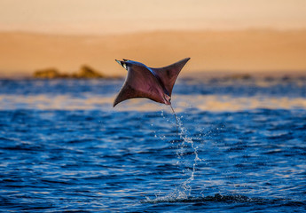 Mobula ray is jumps out of the water. Mexico. Sea of Cortez. California Peninsula .